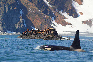 Steller's Sealion (Eumetopias jubatus) colony, on rocks at haul out, with Killer Whale (Orcinus orca) adult, swimming at surface of sea in foreground, Kamchatka Peninsula, Kamchatka Krai, Russian Far...  -  John Holmes/ FLPA