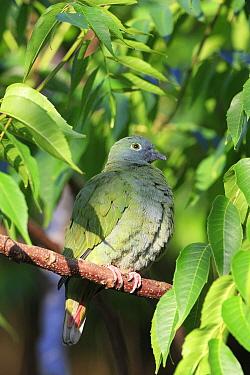 Black-naped Fruit-dove (Ptilinopus melanospilus) adult female, perched on branch (captive)  -  Edward Myles/ FLPA