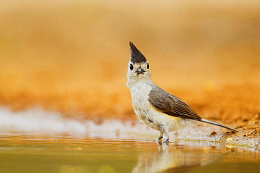 Black-crested Titmouse (Baeolophus atricristatus) adult, bathing in pool, South Texas, U.S.A., may  -  Bill Coster/ FLPA