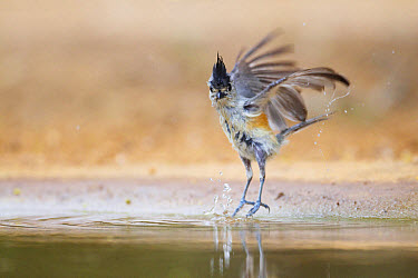 Black-crested Titmouse (Baeolophus atricristatus) adult, in flight, taking off from pool after bathing, South Texas, U.S.A., may  -  Bill Coster/ FLPA