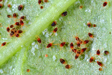 Carmine spider mites (Tetranychus cinnabarinus) infestation and damage to a rose leaf  -  Nigel Cattlin/ FLPA