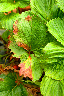 Grey mould Botrytis cinerea lesions on a strawberry leaf during a wet summer  -  Nigel Cattlin/ FLPA