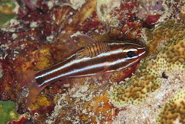 Blackstripe Cardinalfish (Apogon nigrofasciatus) adult, with amphipod (parasitic copepod) attached, Fiabacet Island, Raja Ampat Islands (Four Kings), West Papua, New Guinea, Indonesia  -  Colin Marshall/ FLPA