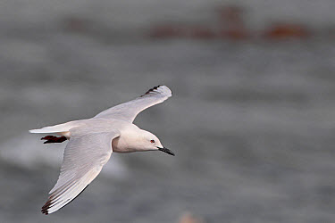Slender-billed Gull (Chroicocephalus genei) adult, breeding plumage, in flight, Gambia, march  -  Robin Chittenden/ FLPA