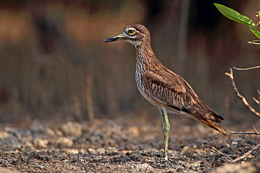 Senegal Thick-knee (Burhinus senegalensis) adult, standing on mud, North Bank, Gambia, february  -  Robin Chittenden/ FLPA