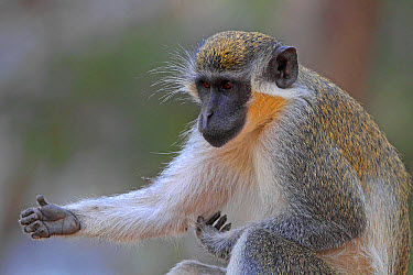 Callithrix Monkey (Cercopithecus sabaeus) adult, scratching arm, Western Division, Gambia, march  -  Robin Chittenden/ FLPA