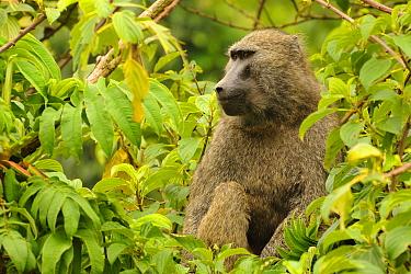 Olive Baboon (Papio anubis) adult, sitting in tree, Kahuzi-Biega National Park, Kivu Region, Democratic Republic of Congo, november  -  Fabio Pupin/ FLPA