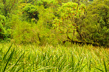 View of swamp in forest habitat, Kahuzi-Biega National Park, Kivu Region, Democratic Republic of Congo, november  -  Fabio Pupin/ FLPA