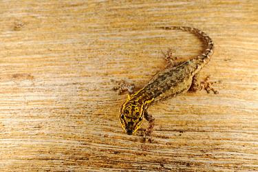 Dwarf Yellow-headed Gecko (Lygodactylus luteopicturatus) adult, Ruaha National Park, Tanzania, january  -  Fabio Pupin/ FLPA