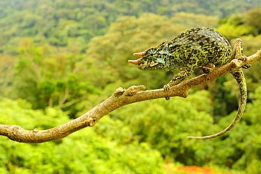 Johnston's Three-horned Chameleon (Trioceros johnstoni) adult male, clinging to branch, Kahuzi-Biega National Park, Kivu Region, Democratic Republic of Congo, november  -  Fabio Pupin/ FLPA