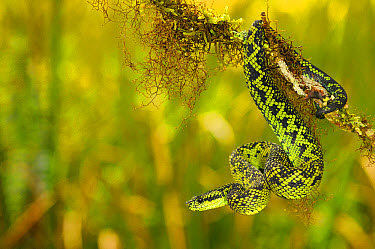 Nitsche's Bush Viper (Atheris nitschei) adult, on branch, Kahuzi-Biega National Park, Kivu Region, Democratic Republic of Congo, november  -  Fabio Pupin/ FLPA