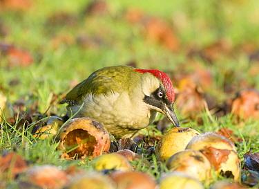 Green Woodpecker (Picus viridis) adult female, feeding on windfall apples, England, january  -  Derek Middleton/ FLPA
