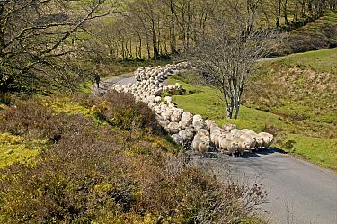 Domestic Sheep, Exmoor Horn, flock, herding along moorland road, Exmoor, Somerset, England, april  -  Derek Middleton/ FLPA