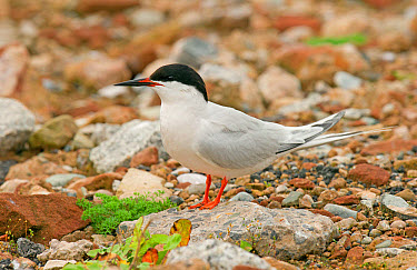 Roseate Tern (Sterna dougallii) adult, breeding plumage, standing on rock, Merseyside, England, july  -  Steve Young/ FLPA