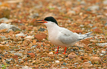 Roseate Tern (Sterna dougallii) adult, breeding plumage, calling, standing on stones, Merseyside, England, july  -  Steve Young/ FLPA