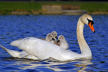 Mute Swan (Cygnus olor) adult female, carrying cygnets on back, swimming, Bushy Park, Richmond upon Thames, London, England, may  -  Mike Lane/ FLPA