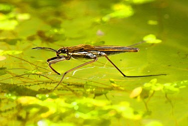 Common Pond Skater (Gerris lacustris) adult, on water surface with duckweed and algae, Devon, England, july  -  Nigel Cattlin/ FLPA