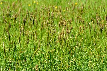 Sweet Vernal Grass (Anthoxanthum odoratum) flowering in meadow  -  Nigel Cattlin/ FLPA