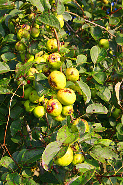 Wild Crabapple (Malus sylvestris) close-up of fruit, growing in hedgerow at edge of river valley fen, Middle Fen, Redgrave and Lopham Fen N.N.R., Waveney Valley, Suffolk, England, september  -  Marcus Webb/ FLPA