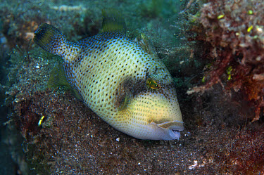 Yellowmargin Triggerfish (Pseudobalistes flavimarginatus) adult, Lembeh Straits, Sulawesi, Sunda Islands, Indonesia  -  Colin Marshall/ FLPA