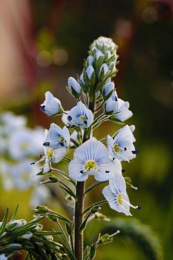 Thyme-leaved Speedwell (Veronica serpyllifolia) flowering, Powys, Wales, May  -  Richard Becker/ FLPA