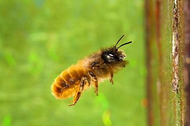 Red Mason Bee (Osmia rufa) adult female, in flight to nesthole, Powys, Wales, May  -  Richard Becker/ FLPA