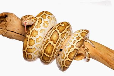Burmese Python (Python molurus bivittatus) immature, coiled on branch  -  Chris Brignell/ FLPA