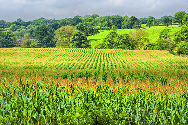 Maize (Zea mays) forage crop, grown for dairy cows, Salmesbury, Lancashire, England, August  -  John Eveson/ FLPA