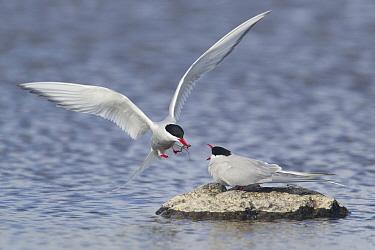 Arctic Tern (Sterna paradisea) adult pair, courtship feeding, male giving stickleback to female in food pass, Shetland Islands, Scotland, June  -  Bill Coster/ FLPA