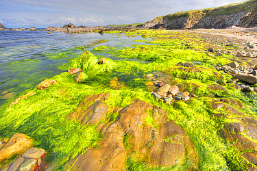 Rocky shore with seaweed at low tide, Bigton Wick, Mainland, Shetland Islands, Scotland, May  -  Bill Coster/ FLPA