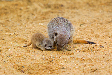 Meerkat (Suricata suricatta) adult female and baby, foraging for food on sand (captive)  -  Paul Sawer/ FLPA