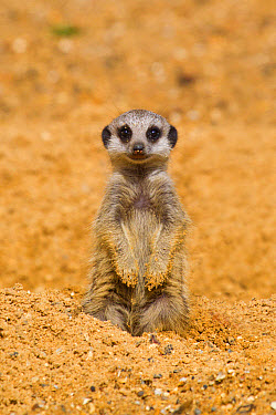 Meerkat (Suricata suricatta) baby, sitting on sand, with sandy paws from digging (captive)  -  Paul Sawer/ FLPA