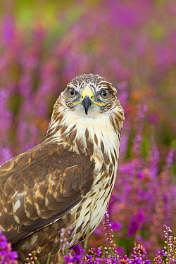 Common Buzzard (Buteo buteo) adult, close-up of head and chest, with raindrops on head, standing amongst flowering heather, September (captive)  -  Paul Sawer/ FLPA
