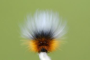 Garden Tiger Moth (Arctia caja) caterpillar, showing defensive false eyes, Whiteford National Nature Reserve, Gower Peninsula, Glamorgan, South Wales, May  -  Hugh Lansdown/ FLPA