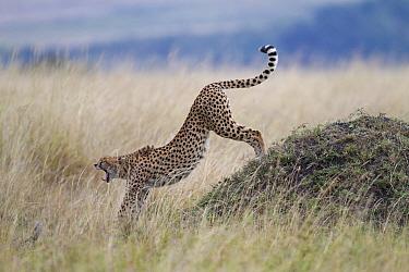Cheetah (Acinonyx jubatus) adult female, yawning and stretching, standing beside termite mound, Masai Mara, Kenya, August  -  Bernd Rohrschneider/ FLPA