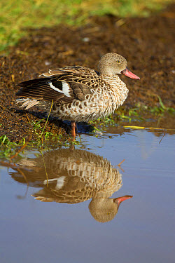 Cape Teal (Anas capensis) adult, standing in water with reflection at lake shore, Lake Nakuru National Park, Great Rift Valley, Kenya, August  -  Bernd Rohrschneider/ FLPA
