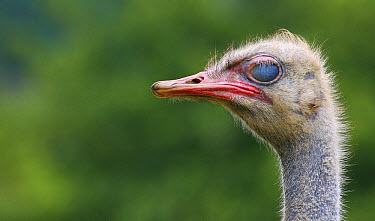Ostrich (Struthio camelus) adult, close-up of head, with nictitating membrane fully closed (captive)  -  Andrew Forsyth/ FLPA