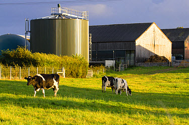 Domestic Cattle, Holstein Friesian type dairy cows, grazing on pasture, with cylindrical digester which contains bacteria to break down manure and create burnable methane gas in background, Norfolk, E...  -  Gary K Smith/ FLPA