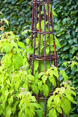 Fuchsia (Fuschia juntasensis) growing up hazel wigwam support in garden, England, September  -  Gary K Smith/ FLPA