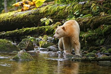 American Black Bear (Ursus americanus kermodei) 'Spirit Bear' white morph, adult, fishing for salmon at edge of river in temperate coastal rainforest, Great Bear Rainforest, Gribbell Island, British C...  -  Ignacio Yufera/ FLPA
