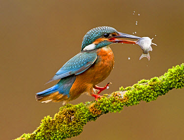 Common Kingfisher (Alcedo atthis) adult, feeding, landing on moss covered branch with fish in beak, Droitwich, Worcestershire, England, May  -  Kevin Elsby/ FLPA