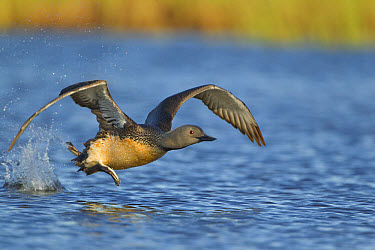 Red-throated Diver (Gavia stellata) adult, breeding plumage, taking off from water, Iceland, June  -  Paul Hobson/ FLPA