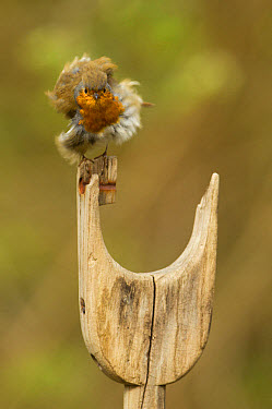 European Robin (Erithacus rubecula) adult, with feathers fluffed up, perched on wooden handle of spade, South Yorkshire, England, May  -  Paul Hobson/ FLPA