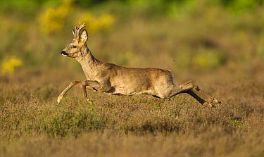 Western Roe Deer (Capreolus capreolus) buck, running through heather on heathland at edge of wood, Netherlands, May  -  Paul Hobson/ FLPA