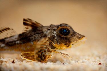 Tub Gurnard (Chelidonichthys lucerna) adult, on gravel, The Wash, Lincolnshire, England, March  -  Paul Hobson/ FLPA