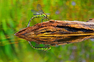Southern Hawker (Aeshna cyanea) adult female, laying eggs in partially submerged rotting wood, Oxfordshire, England, August  -  Malcolm Schuyl/ FLPA