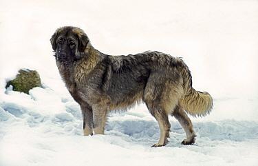 Domestic Dog, Illyrian Sheepdog, adult, standing in snow  -  Gerard Lacz/ FLPA