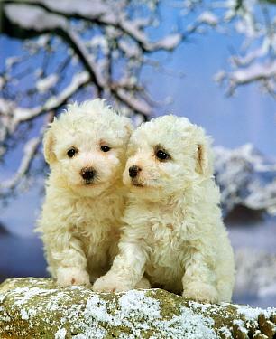 Domestic Dog, Bichon Frise, two puppies, sitting on rock in snow  -  Gerard Lacz/ FLPA