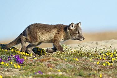 Arctic Fox (Alopex lagopus) cub, walking on tundra, Nunavut, Canada, July  -  Ignacio Yufera/ FLPA