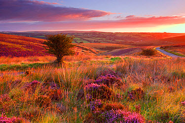 View of road through moorland habitat with flowering heather and hawthorn trees at sunrise, Knighton Combe, above Withypool, Exmoor National Park, Somerset, England, August  -  Andrew Wheatley/ FLPA